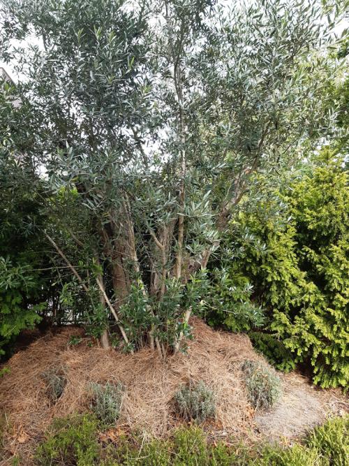 De olojfbomen in de Bijbelse Tuin Hoofddorp