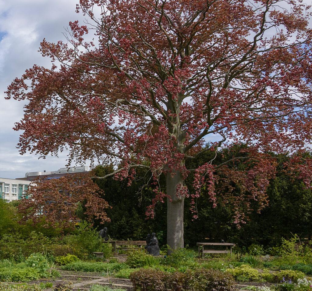 De Rode Beuk in de Bijbelse Tuin in Hoofddorp