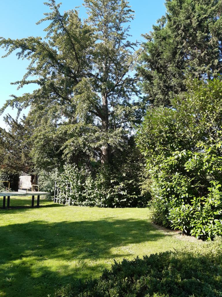 Bijbelse Tuin in Hoofddorp, de Gingko